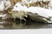 Gray or Arctic Wolf — Stock Photo