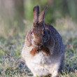 Eastern Cottontail — Stock Photo