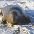 Endangered Elephant Seal — Stock Photo