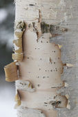 Birch Tree Bark — Stock Photo