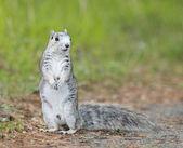 Delmarva halvön fox ekorre — Stockfoto