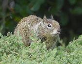 California Ground Squirrel — Stock Photo