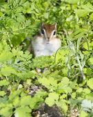 Siberian Chipmunk — Stock Photo