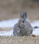 Mountain Cottontail Rabbit — Stock Photo