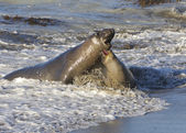 Endangered Elephant Seal — Photo