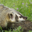 American Badger — Stock Photo
