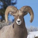 Bighorn Sheep — Stock Photo