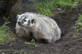 American Badger — Stock Photo