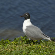 Laughing Gull, Larus atricilla — Stock Photo #4976313