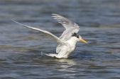 Royal Tern, Sterna maxima — Stock Photo