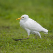 Cattle Egret, Bubulcus ibis — Stock Photo