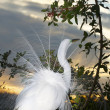 Stock Photo: Great Egret, Ardealba