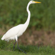 Great Egret, Ardea alba — Stock Photo
