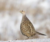Common Ring-neck Pheasant, Phasianus colchicus — Stock Photo