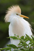 Cattle Egret, Bubulcus ibis — Photo