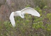 Great Egret, Ardea alba — Stock Photo