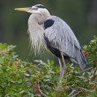 Great Blue Heron, Ardea herodias — ストック写真