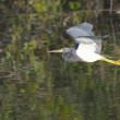 Stock Photo: Tricolor Heron, Egretttricolor