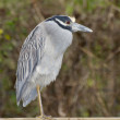 Stock Photo: Adult Yellow-crowned Night Heron, Nyctanassviolacea