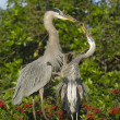 Stock Photo: Great Blue Heron, Ardeherodias