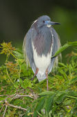 Tricolor Heron, Egretta tricolor — Stock Photo