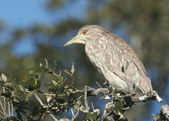 Juvenile Black-crowned Night Heron, Nycticorax nycticorax — Stock Photo
