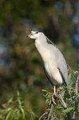 Adult Yellow-crowned Night Heron, Nyctanassa violacea — Stock Photo