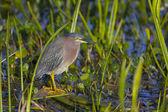 Green Heron, Butorides virescens — Stock Photo