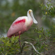 Roseate Spoonbill, Platalea ajaja — Stock Photo