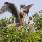 Great Blue Heron, Ardea herodias — Stock Photo #5017948
