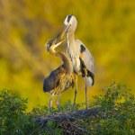 Great Blue Heron, Ardea herodias — Stock Photo #5017962