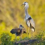 Great Blue Heron, Ardea herodias — Stock Photo #5017964