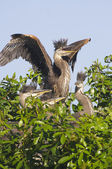 Great Blue Heron, Ardea herodias — Stock Photo