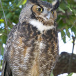 Great Horned Owl, Bubo virginianus — Stock Photo