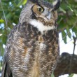 Stock Photo: Great Horned Owl, Bubo virginianus