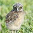 Burrowing Owl, Athene cunicularia - Stock Photo