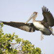 Stock Photo: Brown Pelican, Pelecanus occidentalis
