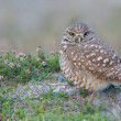 Stock Photo: Burrowing Owl, Athene cunicularia