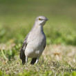 Stock Photo: Northern Mockingbird, Mimus polyglottos