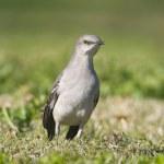 Northern Mockingbird, Mimus polyglottos — Stock Photo #5021462