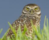 Burrowing Owl, Athene cunicularia — Stock Photo