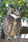 Great Horned Owl, Bubo virginianus — Stockfoto