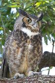 Great horned owl, bubo virginianus — Stockfoto