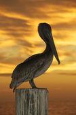 Brown Pelican, Pelecanus occidentalis — Stock Photo