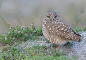 Burrowing Owl, Athene cunicularia — Stock Photo