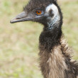 Emu portrait — Stock Photo