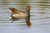 Common Moorhen, Gallinula chloropus — Stock Photo
