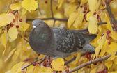 Feral Pigeon, Columba livia — Stock Photo