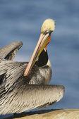 California Brown Pelican, Pelecanus occidentalis — Stock Photo