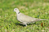 Eurasiër collared dove, streptopelia decaocto — Stockfoto